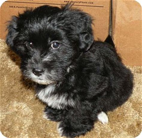 havanese chihuahua mix maximus adopted puppy belvidere il havanese shih