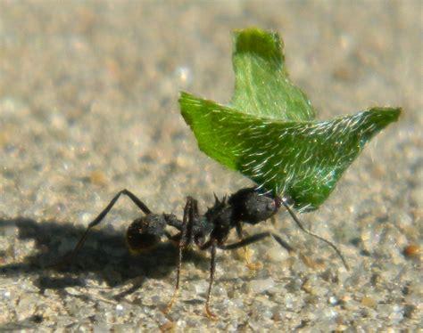 imagenes de hormigas negras fotos de hormigas negras acromyrmex lundi im 225 genes
