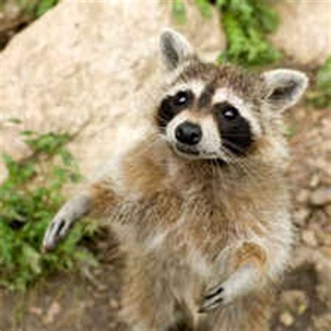 what color are raccoons what are the different types of raccoons pest