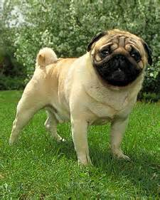 pug puppy food amount dogs earthworms ask akc recipes crafts home d 233 cor and more martha stewart