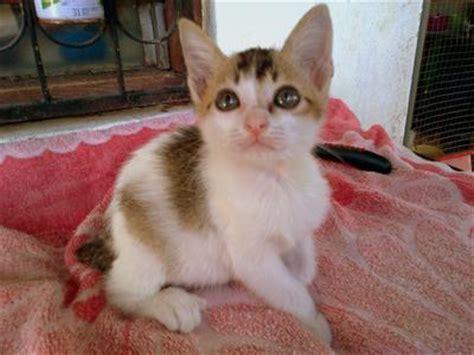 Hair Dryer Murah Untuk Kucing domestic hair siamese kittens adopted 5 years 6 months kucing ipoh diberi percuma