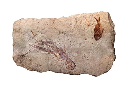 Find On By Age File The Fossils From Cretaceous Age Found In Lebanon Jpg