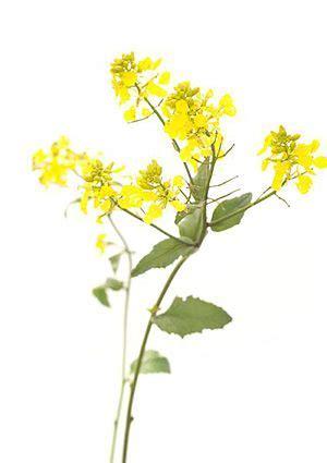 fiori bach depressione mustard fiori di bach essenziale la depressione