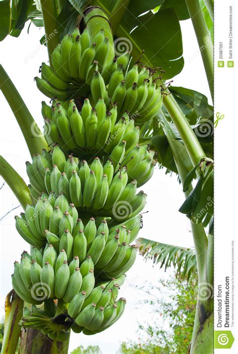 bananas on tree green bananas on a tree stock image image 20987001