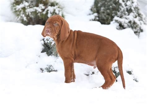 potty puppy in winter teach your puppy to potty in the snow