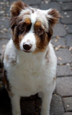 styles of aussie haircut 17 best images about australian shepherds on pinterest