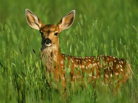 Deer With by Deer Wildlife Info Facts And Photos The Wildlife