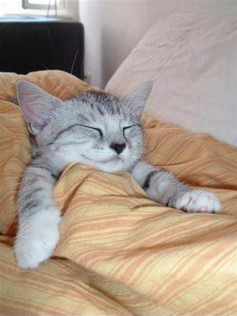 comfort cat comfy cat 1funny com