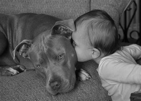 12 reasons why you should never own bull terriers 12 reasons why you should never own pit bulls
