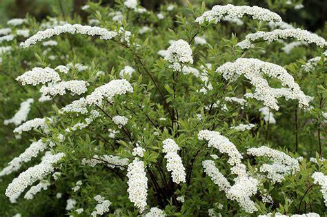 biancospino fiori il fiore biancospino