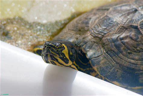 free puppies ta fl yellow bellied slider stock photo image 48024738