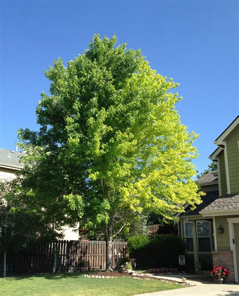 good backyard trees 13 year old autumn blaze maple problem ask an expert