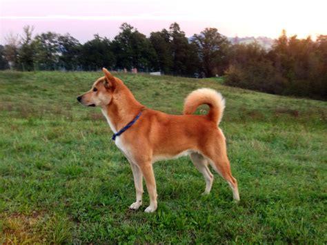 un dogs file canaan un maschio di 3 anni jpg
