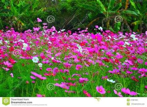 pink flower garden beautiful pink flower garden at jim thompson s farm