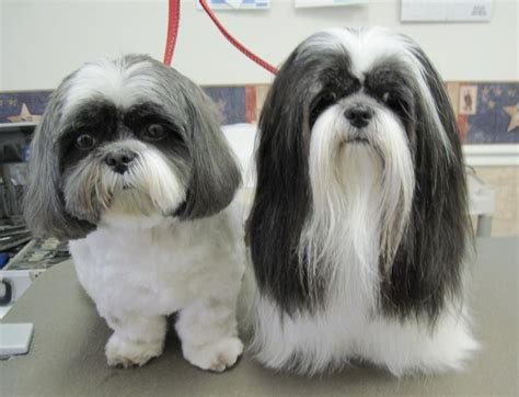 shih tzu coats magic s pet salon photo gallery