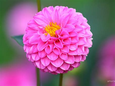 d alilah flow dahlia flower wallpapers hd quality