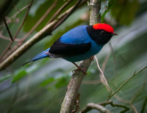 manakin birds news and facts images all wildlife photographs