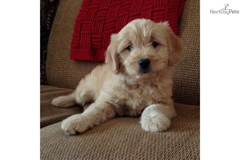 mini goldendoodles for sale in iowa goldendoodle puppy for sale near sioux city iowa