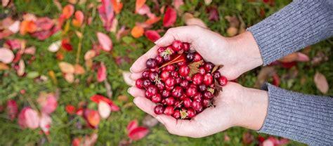 mirtillo americano in vaso coltivare il cranberry o mirtillo americano bellezza e