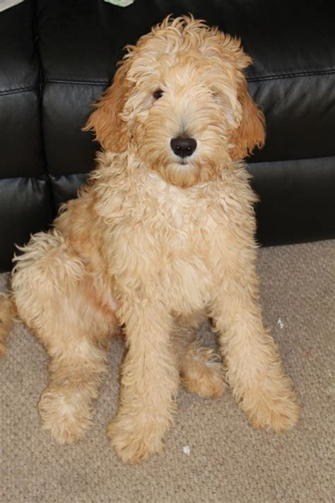 mini goldendoodles washington state miniature goldendoodle puppies oregon