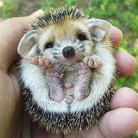 pygmy hedgehog sonic  peaceful spined critter baby