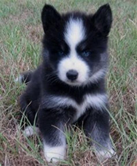 huskimo dog breed siberian husky american eskimo mix