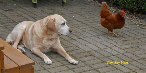 chicken dogs your with chickens city boy hens