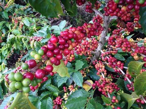 varietas hybrid benarkah solusi masalah tanaman kopi   depan majalah otten coffee