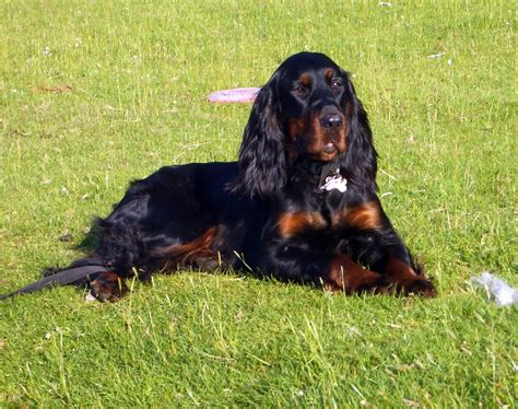 gordon settee gordon setter animals pinterest