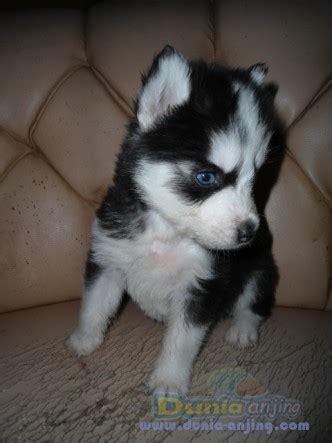 Bulu Mata 930 dunia anjing jual anjing siberian husky husky puppies