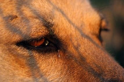 eye drainage in dogs how to clean eye discharge using home remedies
