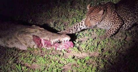 macan tutul lapar curi makanan langsung  mulut buaya