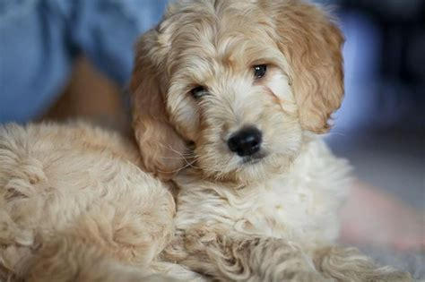 why is my goldendoodles hair short why is my goldendoodles hair cute goldendoodle haircuts
