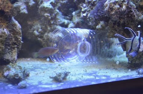 diy fish trap diy fish trap catches six line wrasse 3reef aquarium forums