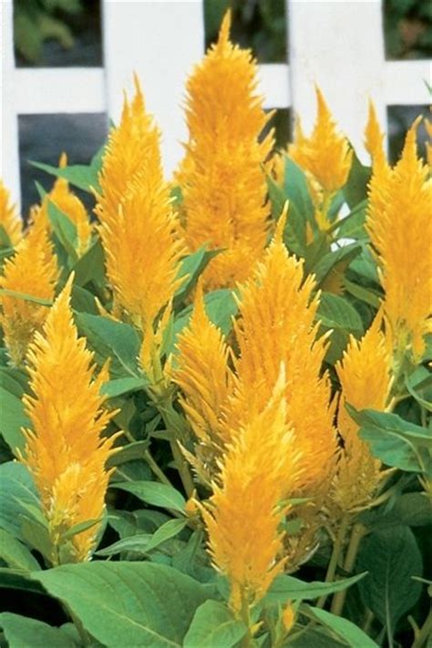 Yellow Celosia Plumosa flower seed castle series yellow celosia 40 seeds fresh seed free shipping ebay