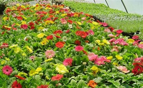information about rose farming gerbera flower farming information guide agri farming