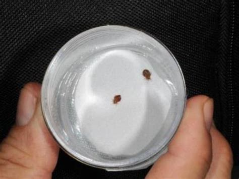 bed bugs denver poison used to kill bed bugs bed bugs denver flying red ant pictures