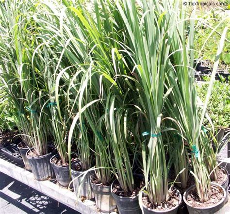 Lemon Grass In Planters by Lemon Grass Plants Lookup Beforebuying