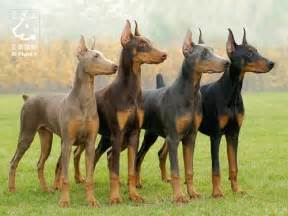 doberman pinscher colors doberman pinschers all the colors but rob wants a
