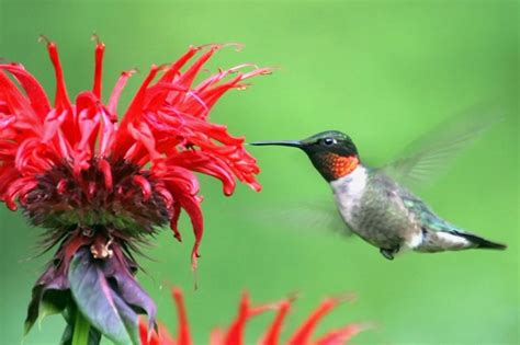 perennial plants that attract birds and hummingbirds