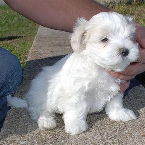 teacup maltipoo puppies for sale in nc 17 best images about t cup puppies for sale on teacup maltese