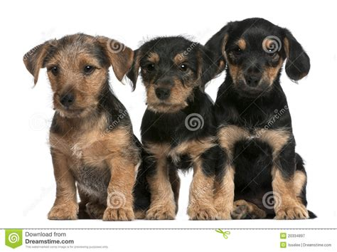 mixed breed puppies for free mixed breed puppies 8 weeks royalty free stock photography image 20334897