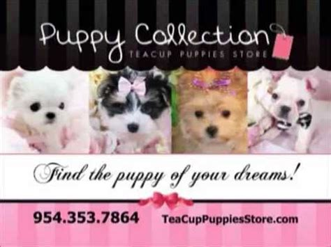 puppies for sale store teacup puppies store teacup puppies for sale 954 353 7864 http www