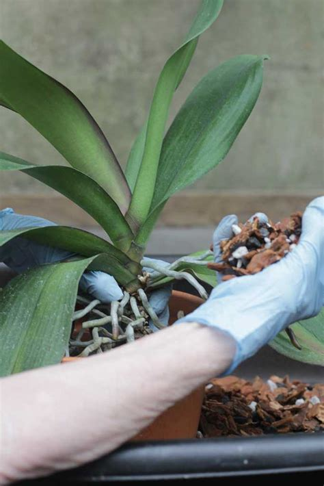 best 28 a guide to pruning phalaenopsis 28 best should