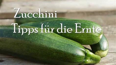 wann kann walnã sse ernten tipps f 252 r die zucchini ernte