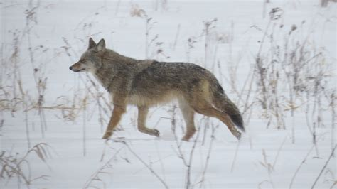 coyote hybrid coy wolf hybrid 1 capitanio jan 2017 mississippi valley field naturalists