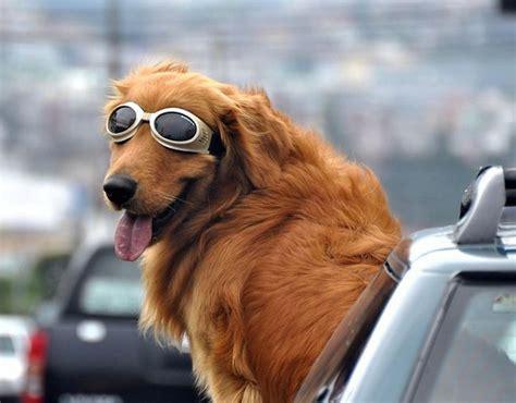 golden retriever driving a a car window and a motley dogs