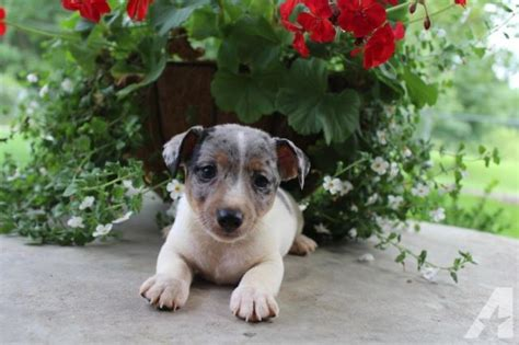 teddy roosevelt terrier puppies for sale the teddy roosevelt terrier is an american terrier that is a breeds picture