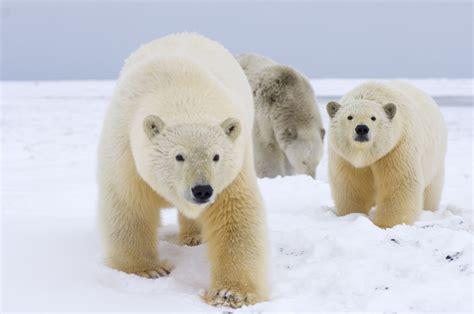 polar and polar ursus maritimus wwf canada