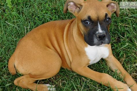 akc boxer puppies for sale near me boxer puppy for sale near akron canton ohio a13e5269 5301